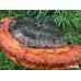 Трутовик окаймленный (Fomitopsis pinicola)