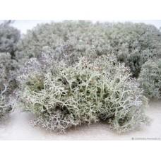 Мох олений, ягель (кладония), 100 гр