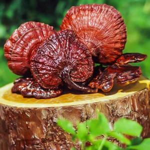 Трутовик лакированный (гриб Рейши, Личжи) крупный, 100 гр