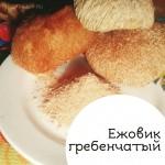 """Ежевик  гребенчатый (Hericium erinaceus). Глава из книги """"Грибы против вирусов"""" посвящённая полезным свойствам Ежовика гребенчатого."""